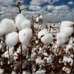 origene historia del algodón