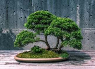 Origen del bonsái