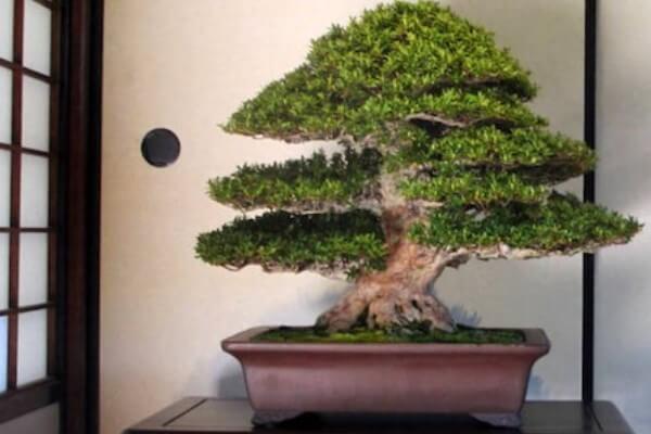qué significa bonsai