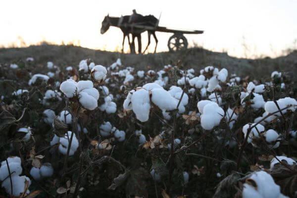historia cultivo algodón