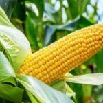origen e historia del maíz