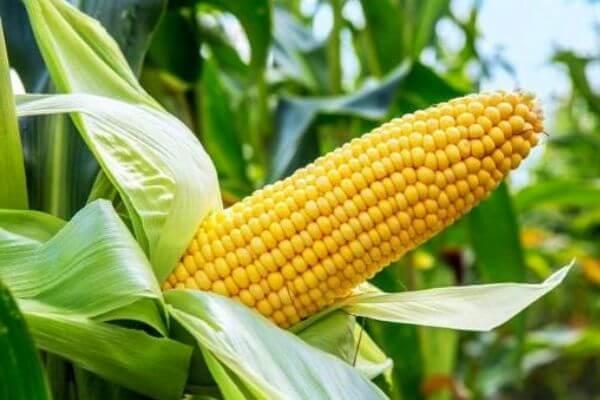 origen del maíz