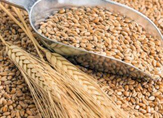 origen e historia del trigo