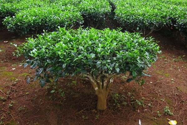 cómo es el árbol del té
