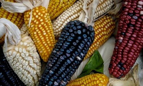 cuándo llegó el maíz a España
